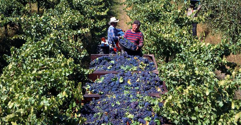 GL0912-UC-grape-harvest_BT_Edits.jpg