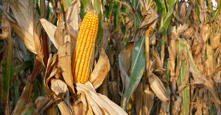 Closeup of corn cob in late summer ready for harvest