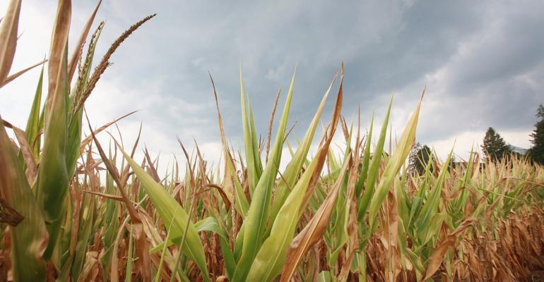 Field of dry corn in the Midwest.