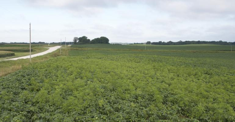 ragweed escapes in a soybean field