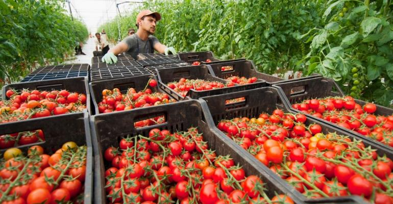 Harvested_tomatoes_in_boxes_lores.jpg