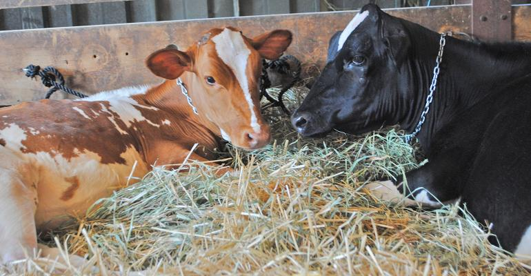 two resting dairy cows