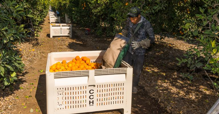 Kern County orange harvest