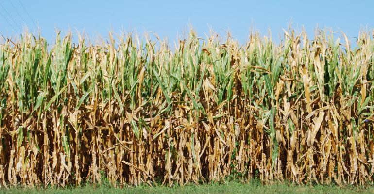 brown corn stalks