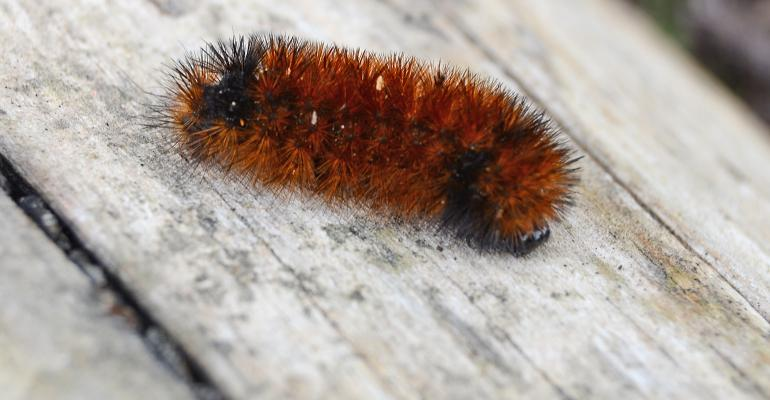 red woolly worm closeup