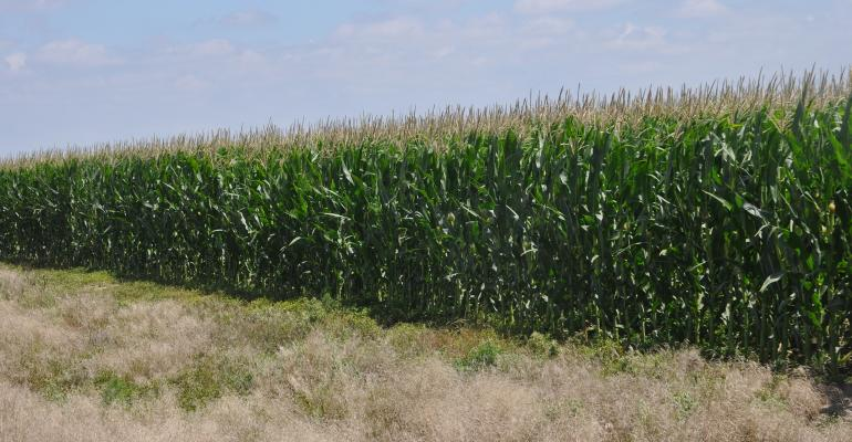 rows of corn stalks