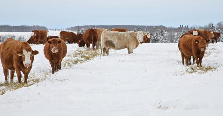 beef cattle winter feeding