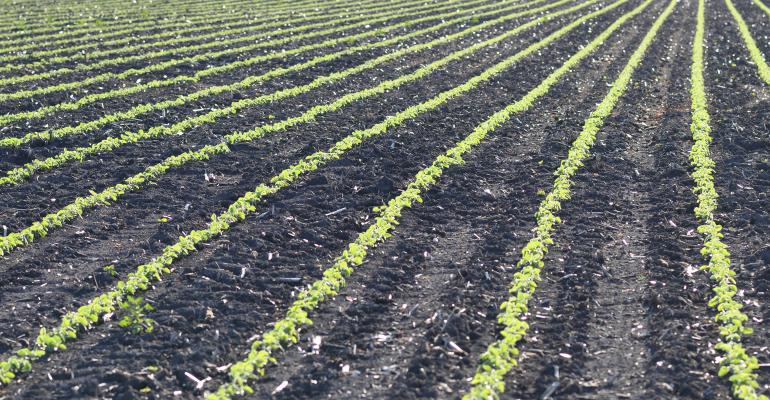 young crop in field