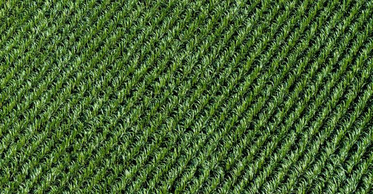 Aerial view of corn