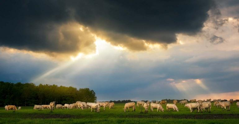 Cattle in stormy pasture
