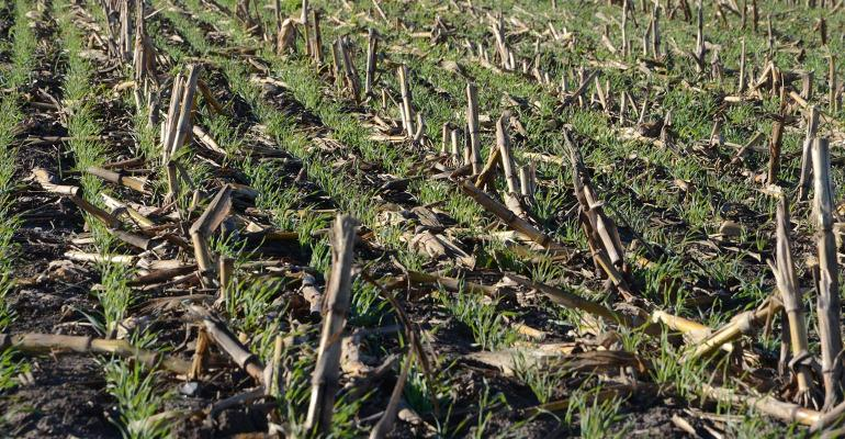 Cover crops in corn field