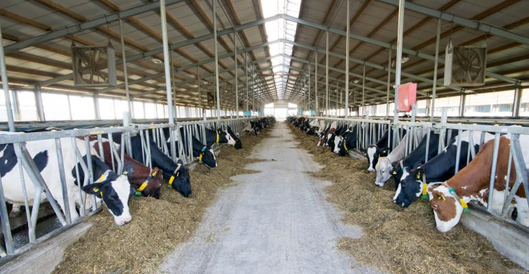 Dairy cows eating in forestall barn