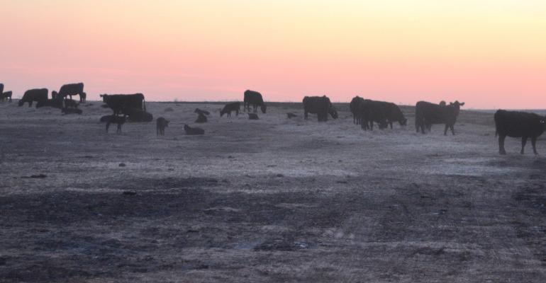 cow herd at sunset