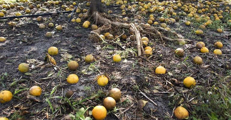Hurricane Damaged Oranges
