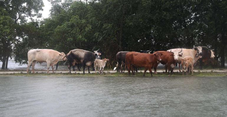 Cattle stand on road between two flooded areas.