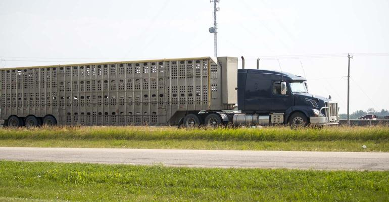 A truck hauling pigs down a highway. Taken in Red Deer, Alberta, Canada