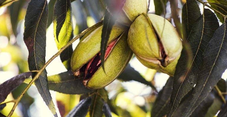Pecan nuts growing on the tree. Close-up.