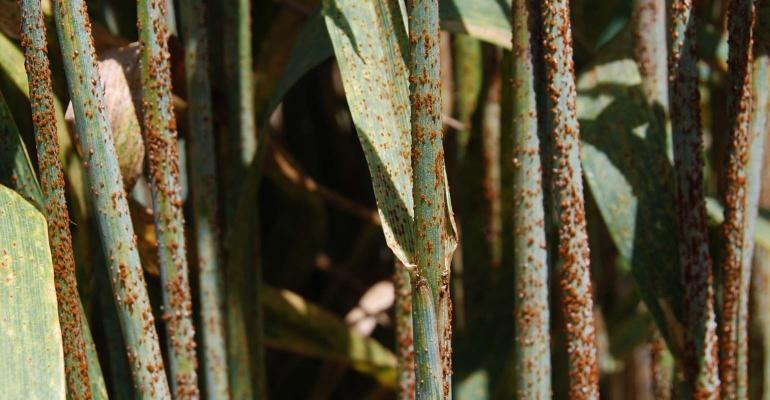 Wheat stem rust