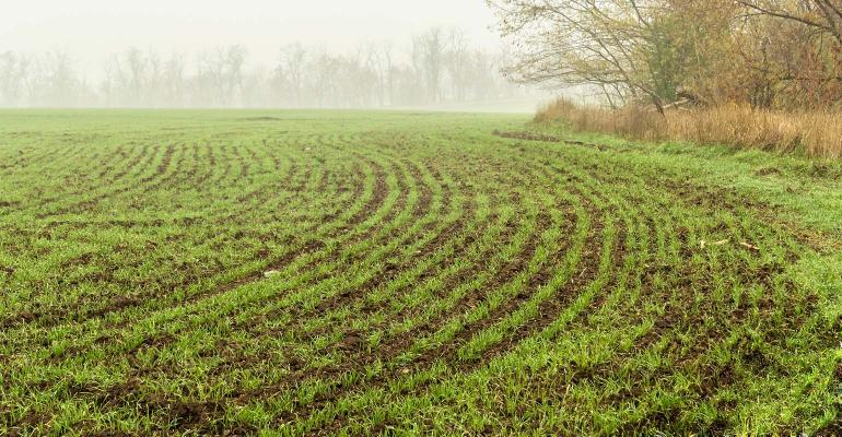 Winter wheat sprouts on dewy day. 1540x800