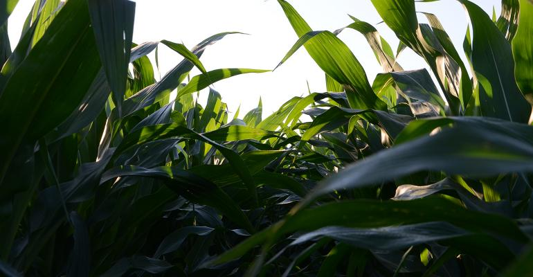 corn plant leaves