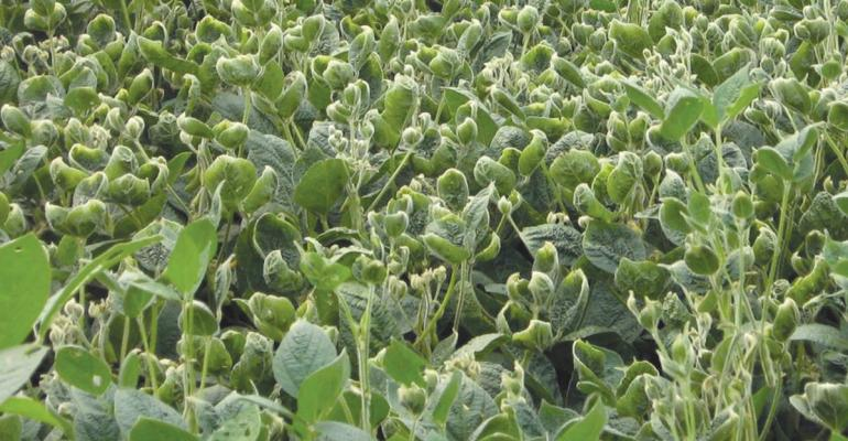 dicamba herbicide damage to soybeans