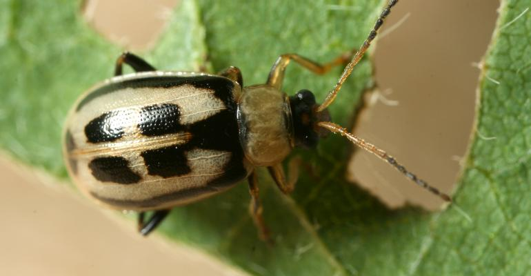 adult bean leaf beetle