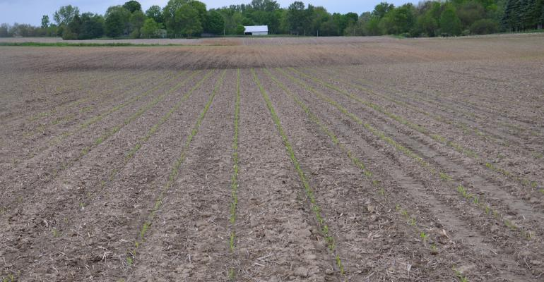 field of very young corn plants