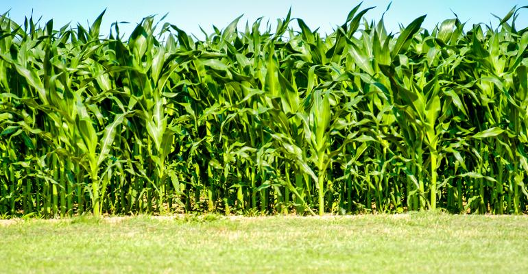 green, young corn plants