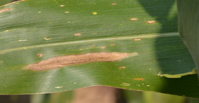 gray leaf spot and northern corn leaf blight