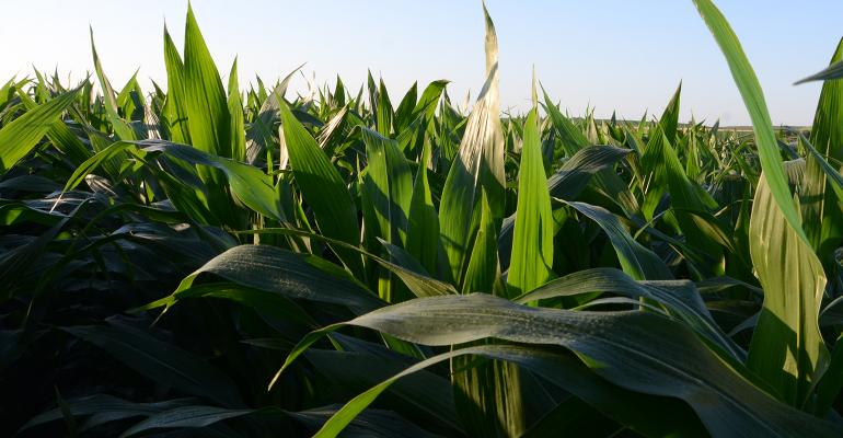stand of green corn plants