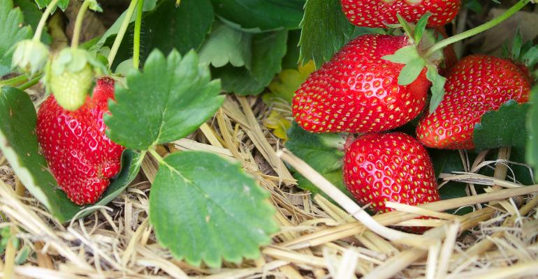 strawberries on the stem closeup