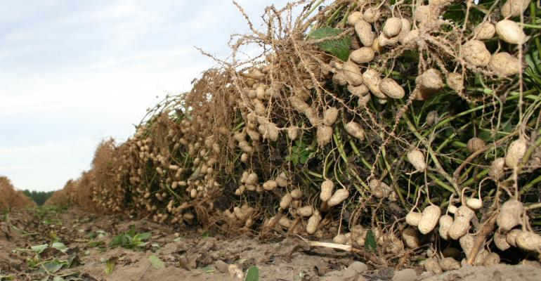peanut-harvest-plowed-row-a_1