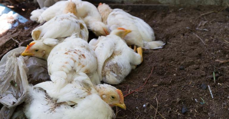 Unhealthy looking white chickens on dirt.