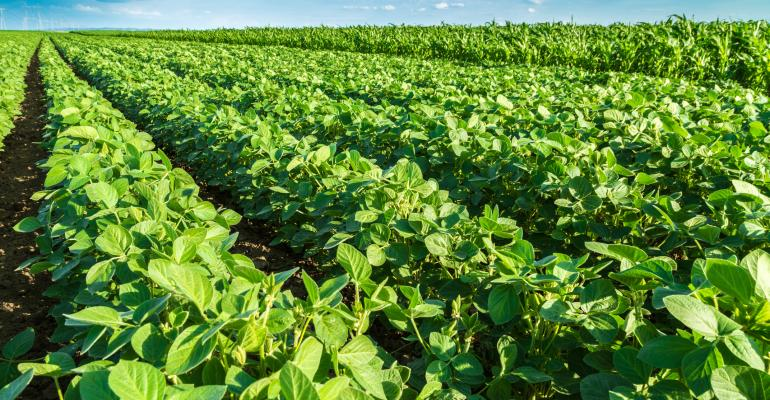 Green growing soybean field