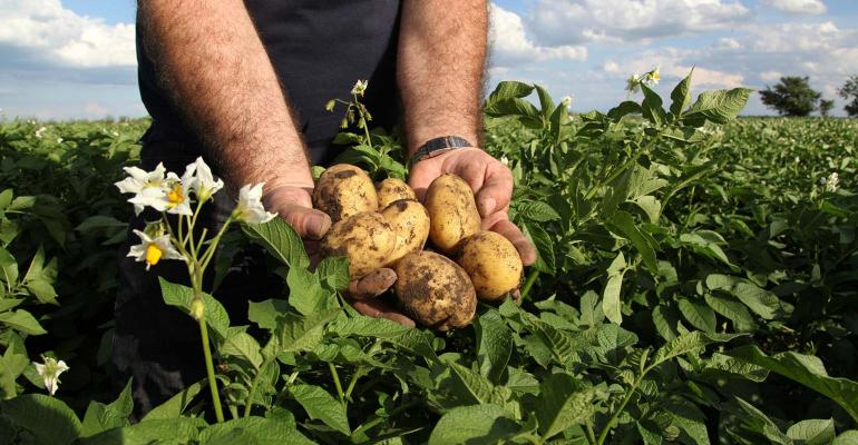 Man holding yellow potatoes in potato field. 1540x800