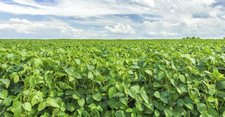 Field of green soybeans.