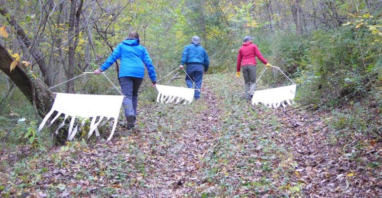 Scientists dragging cloths through barberry infestations to collect ticks