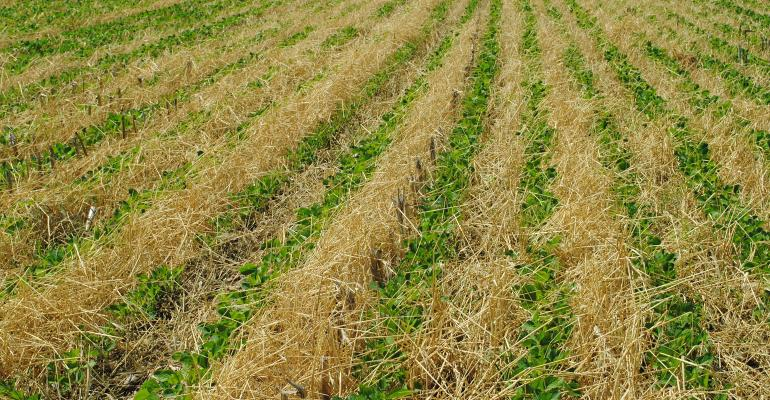 cover crop protecting soil in soybean field