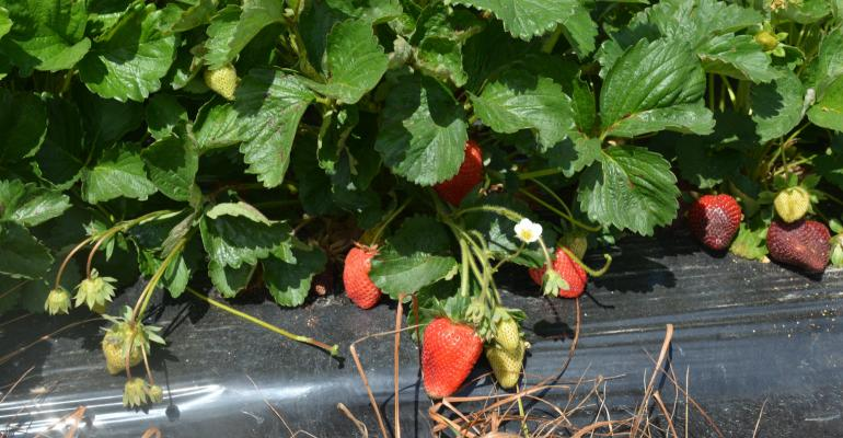 North_Carolina_Strawberries.jpg