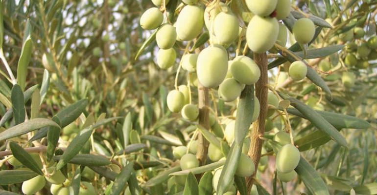 UC Davis group approved as North America's only certified olive oil taste panel