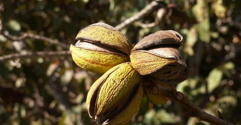 Pecan growers need to examine crop for significant nut pest