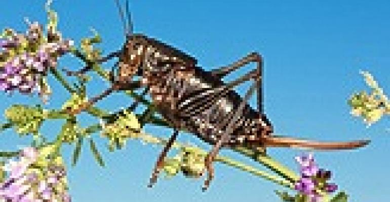 Mormon cricket's immune system path to better control