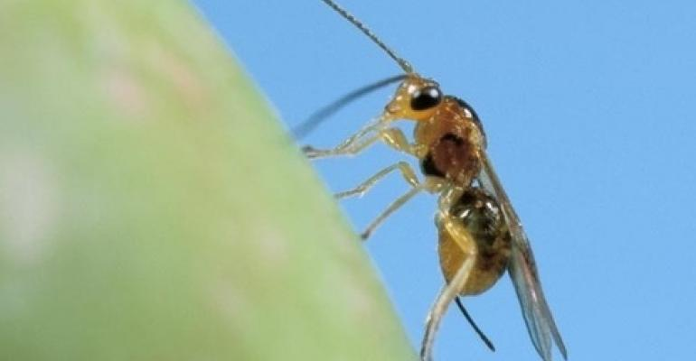 Globe-trotting researchers find natural enemies of the olive fruit fly