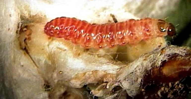 Pink bollworm