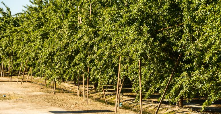 Almond trees with lots of nuts on them
