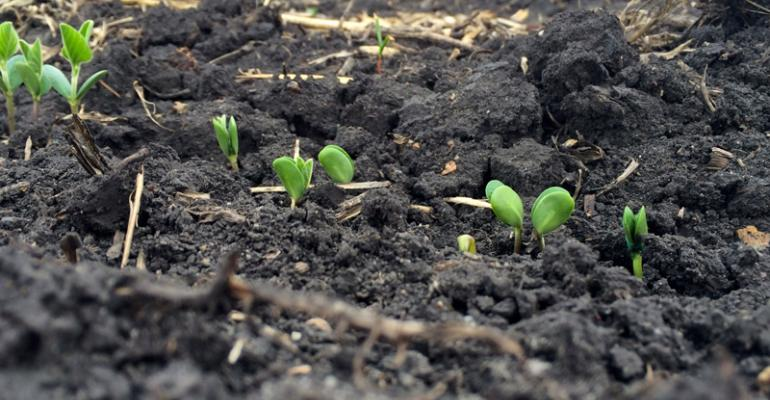 Some of these little soybean plants were just peeking out of the ground