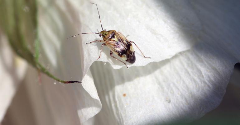 Tarnished-Plant-Bug-Adult-UTIA-Stewart.jpg