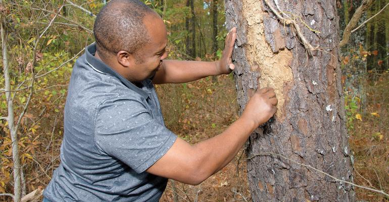 Thomas Legiandenyi, Mississippi State University Extension Service agent in Oktibbeha County, examines a pine tree for evidence of a beetle infestation.