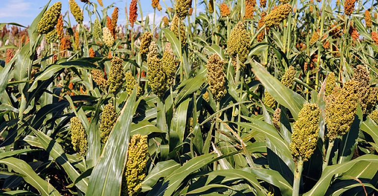 Sorghum grows in a field