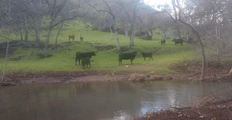 Cows in burn zone